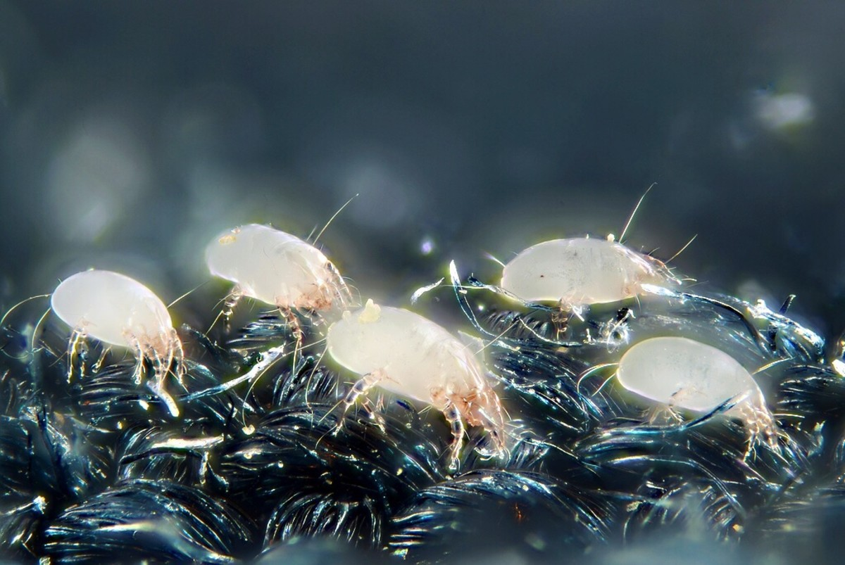 House dust mites are a common cause of allergies.