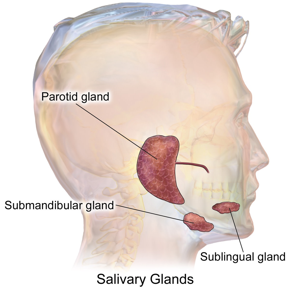 Saliva is made by the salivary glands. It's a very important substance for keeping the mouth healthy.