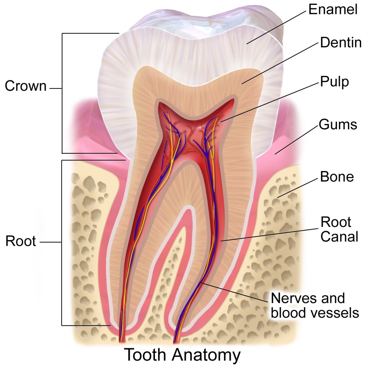 Anatomy of a human tooth