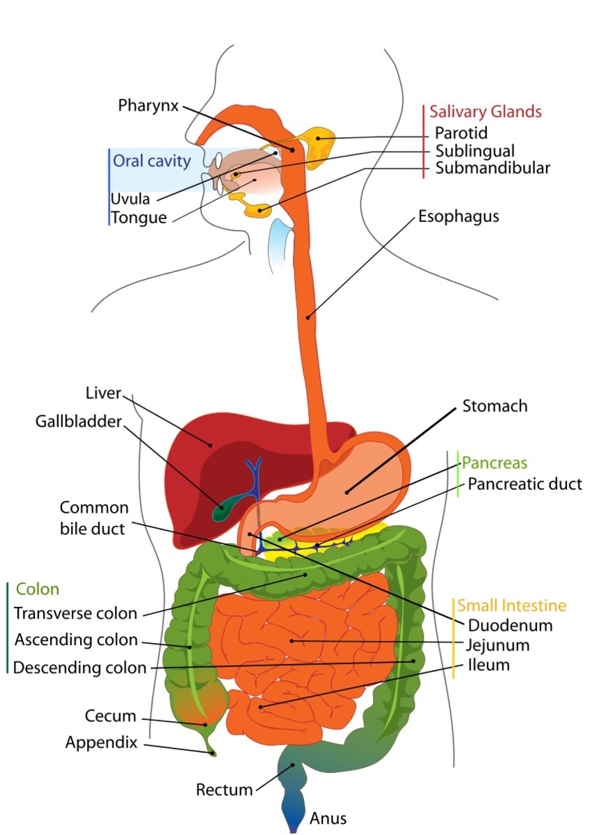 In this illustration of the digestive tract, some of the liver is missing in order to show the stomach underneath.