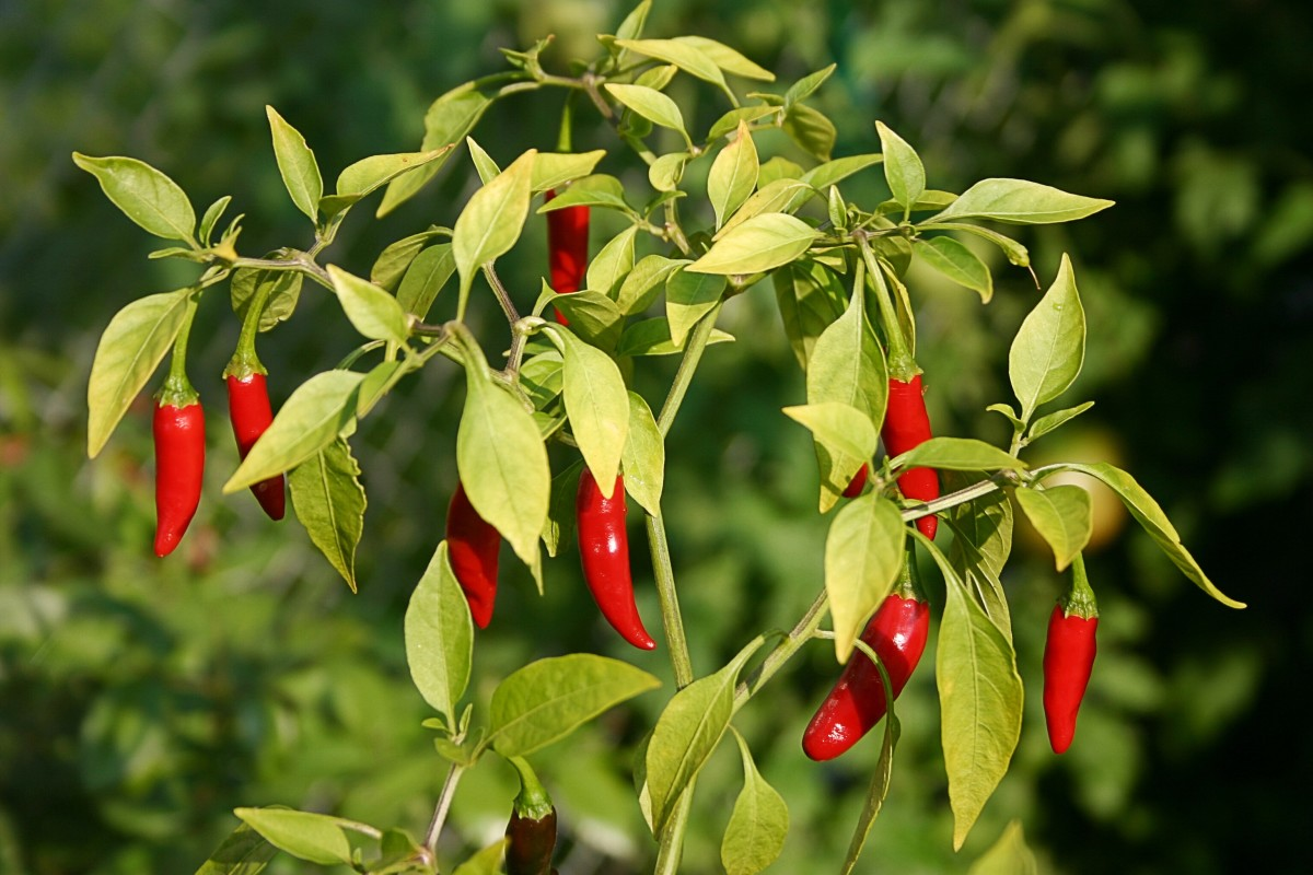 This is a type of cayenne pepper, which is a member of the nightshade family.