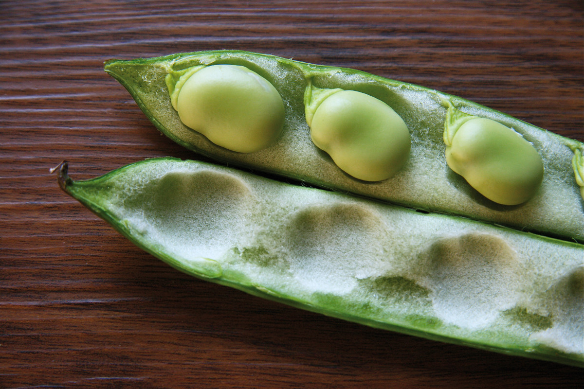 Fava beans, also known as broad beans, can cause jaundice in genetically susceptible people.