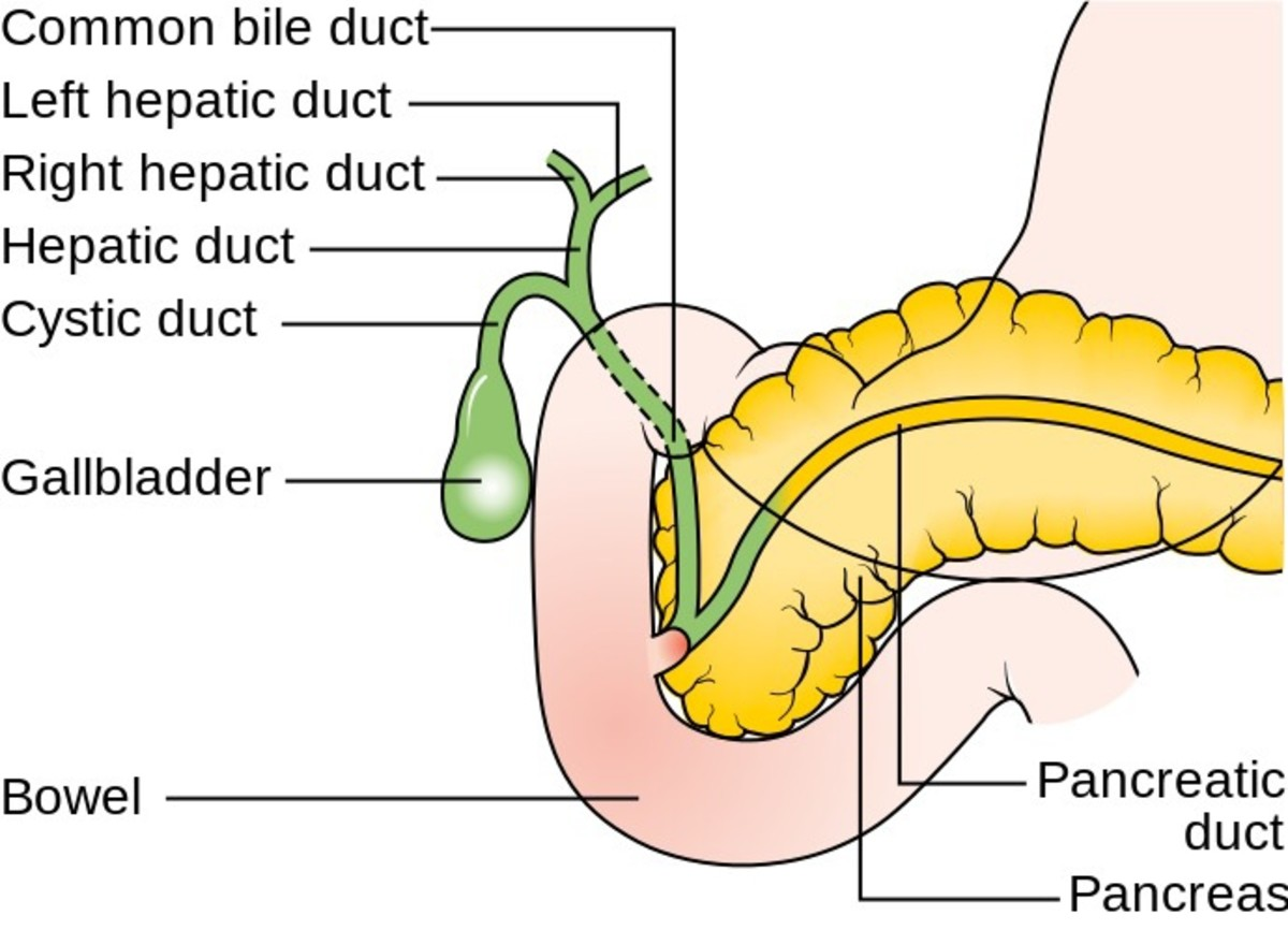 A illustration showing the location and names of the ducts that transport bile