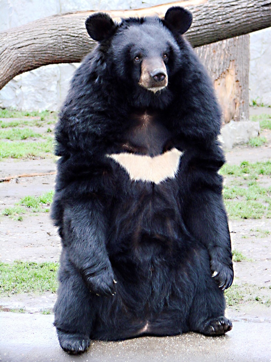 Ursodeoxycholic acid is a bile acid used to treat gallstones and was first found in bear bile. Today it's made artificially. This is Ursus thibetanus, or the Asian black bear.