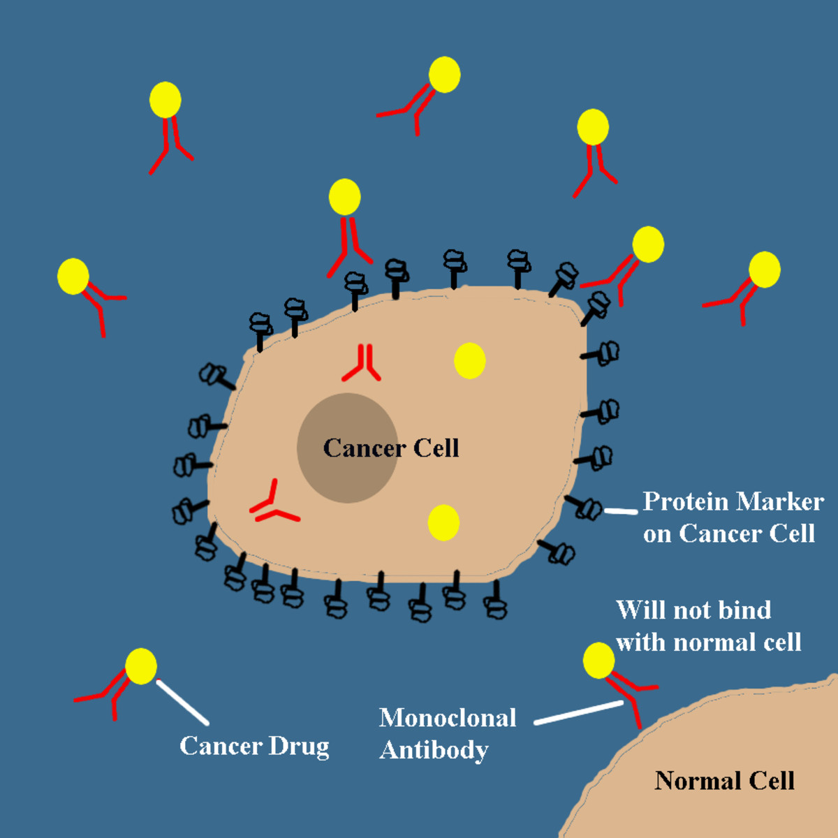 Monoclonal antibodies are able to target specific markers on cancer cells to deliver drugs or radioactive isotopes. The antibodies will not affect normal cells.