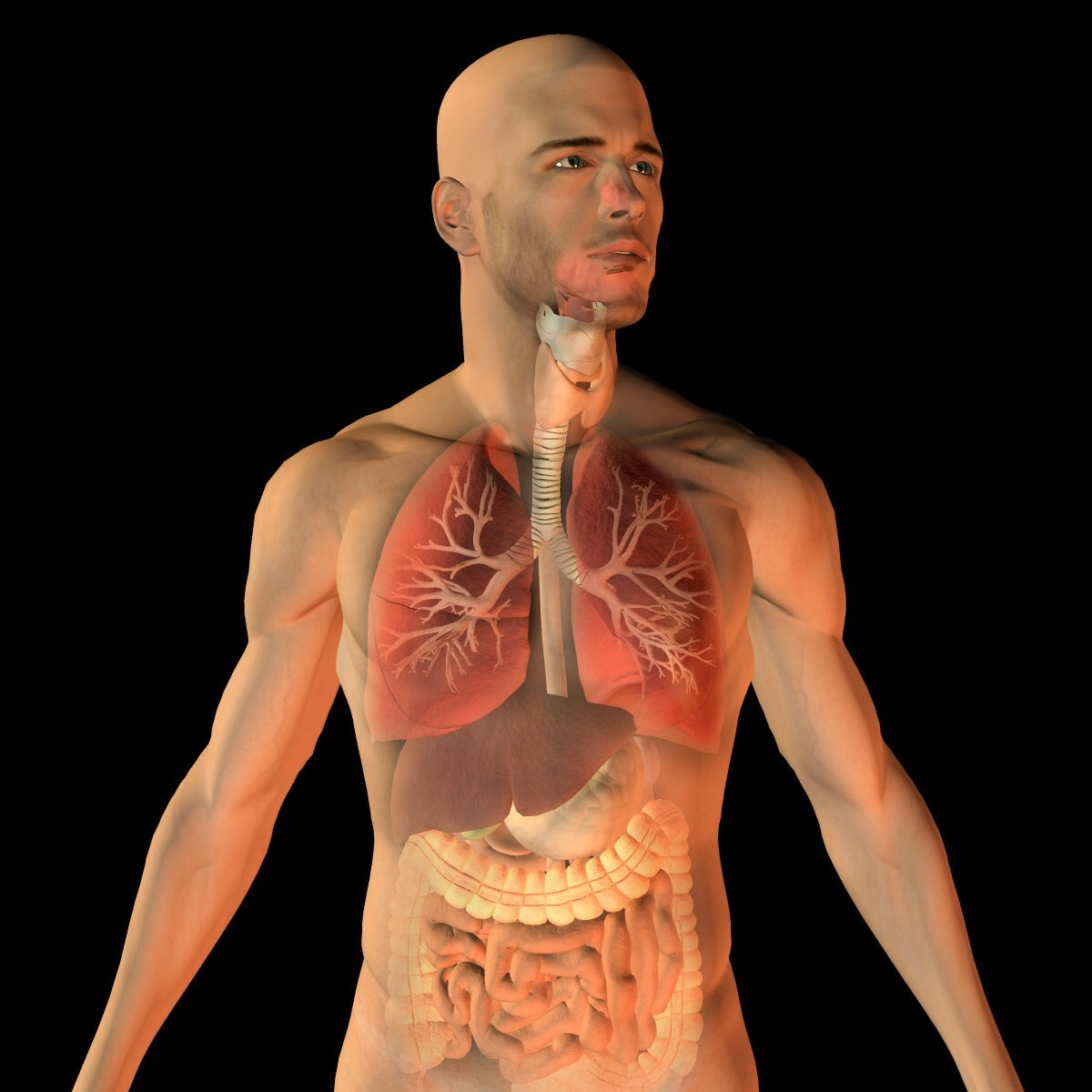 This illustration shows the location of the respiratory system in relation to the abdominal organs. It also show the external appearance of the larynx. The alveoli and diaphragm are not shown in the picture.