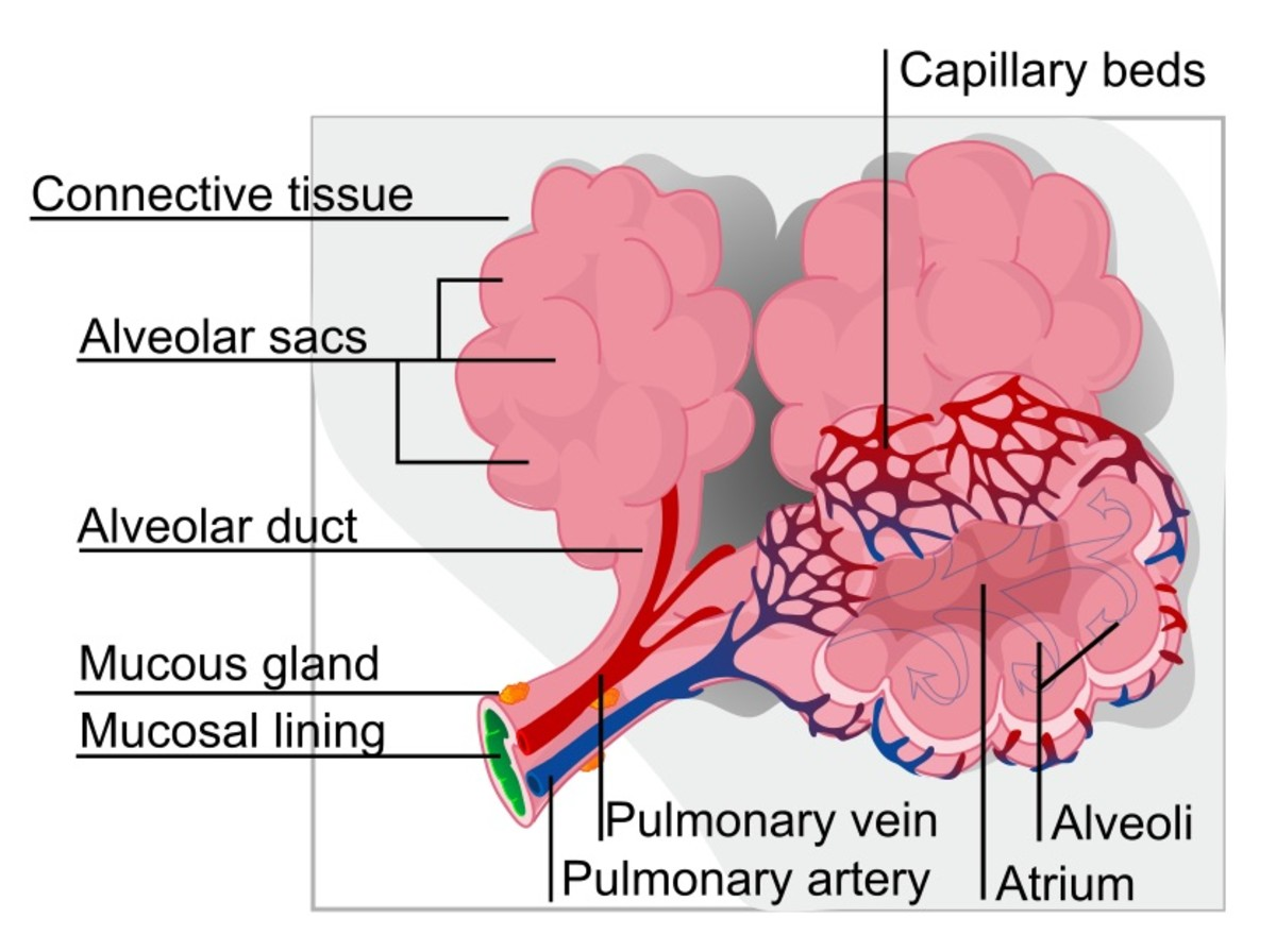 The alveoli, or air sacs, in the lungs