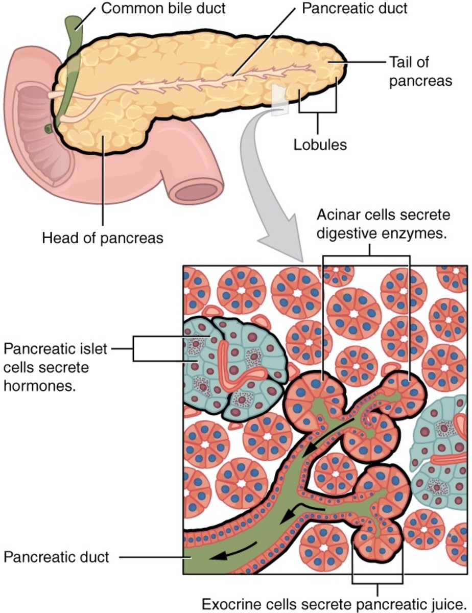 Pancreatic islets or islets of Langerhans produce insulin and glucagon. Acinar cells make digestive enzymes.