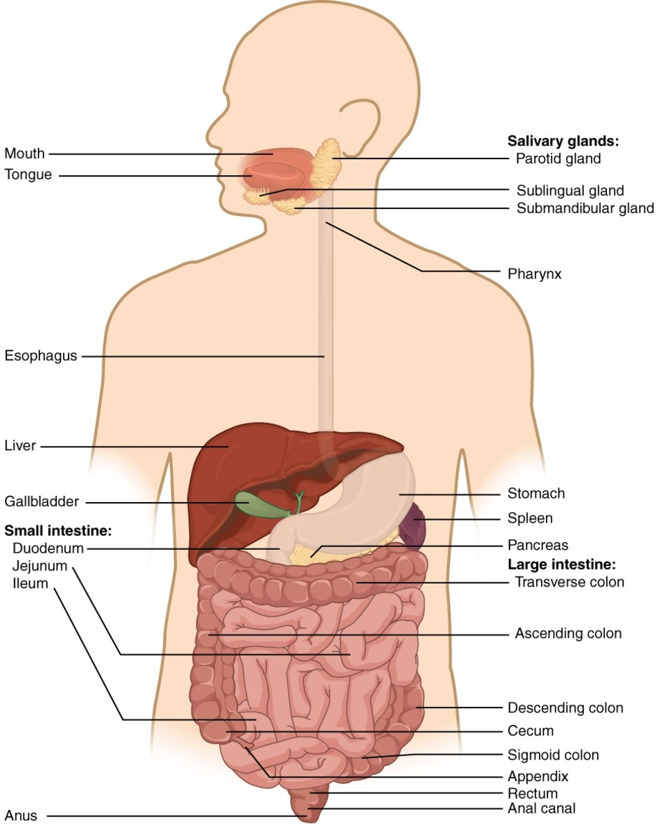 The location of the pancreas within the digestive system