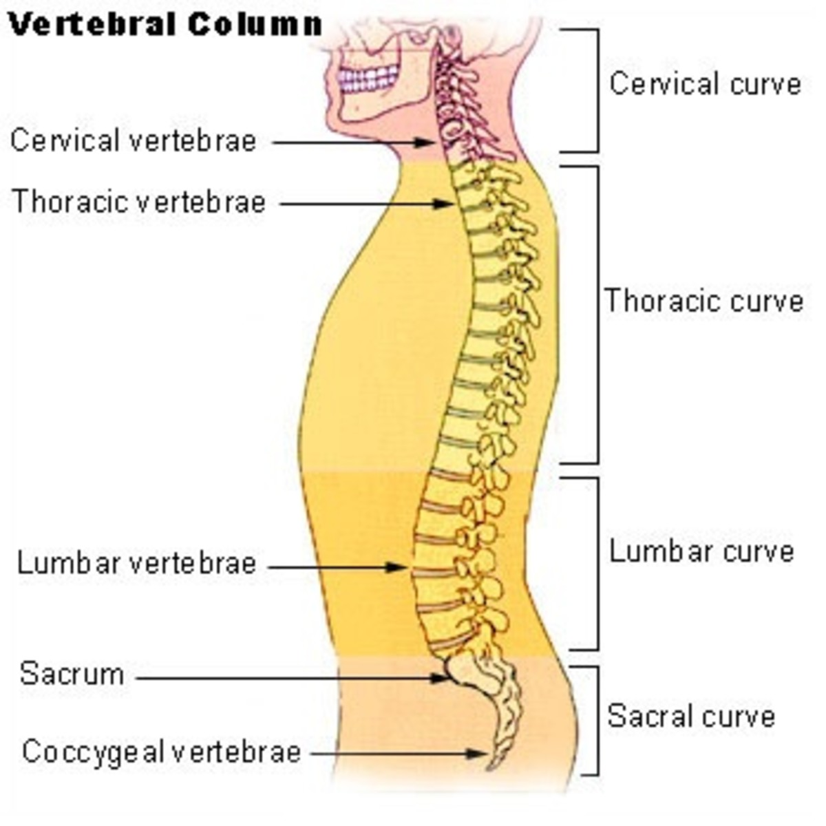 There are seven cervical vertebrae in the neck, twelve thoracic ones in the upper back, five lumbar ones in the lower back, five fused sacral ones, and three to five fused vertebrae in the coccyx.