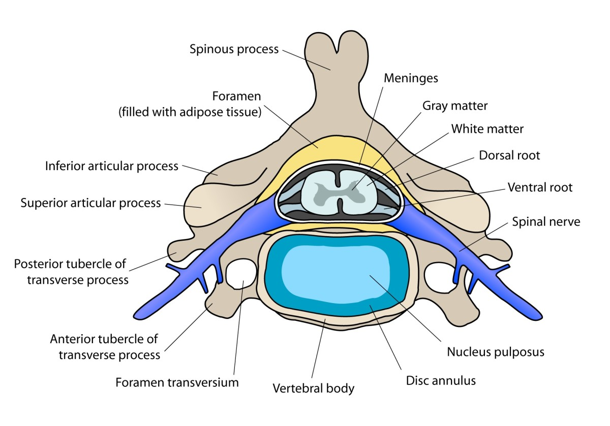 The spinous process faces the back of a person's body. The gray and white matter form the spinal cord.  The blue-green area is the intervertebral disk. It lies on top of the vertebral body. The disc annulus is usually known as the annulus fibrosis.