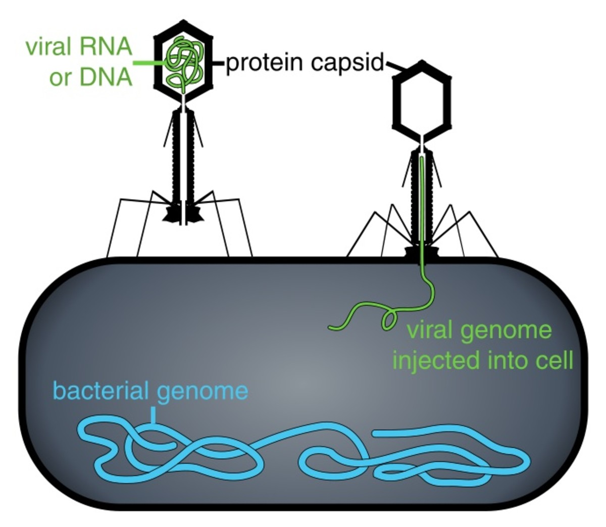 A bacteriophage or phage is a virus that infects bacteria. Here a phage is injecting its nucleic acid into a bacterium. The nucleic acid contains the genes of the virus.