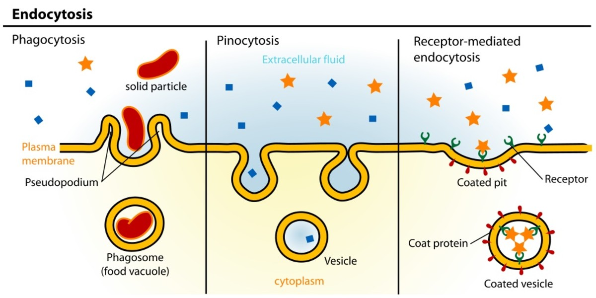 One method by which coronaviruses enter cells is by receptor-mediated endocytosis.