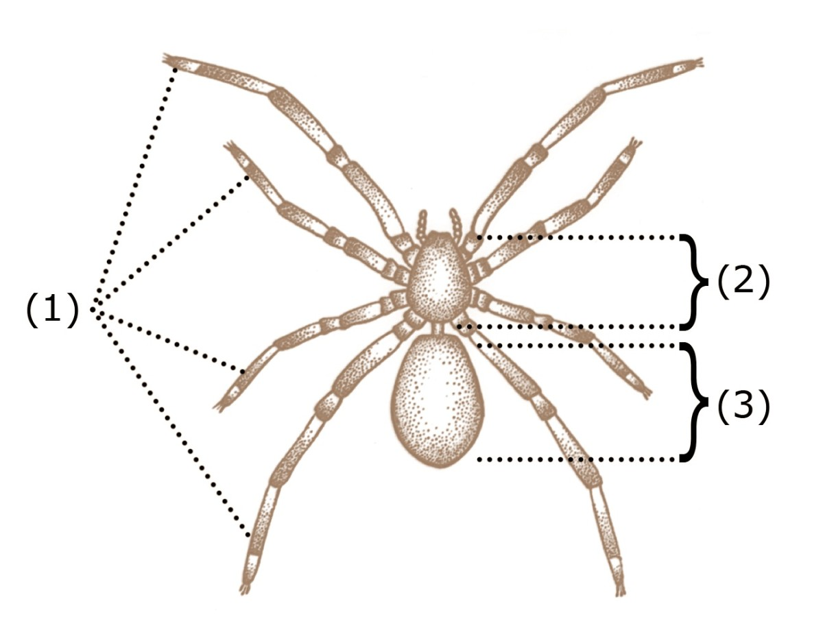 1= legs, 2 = cephalothorax , 3 = abdomen; a narrow pedicel connects the cephalothorax and the abdomen. The two projections around the mouth are the pedipalps. These are sensory and manipulatory structures that are also involved in reproduction.