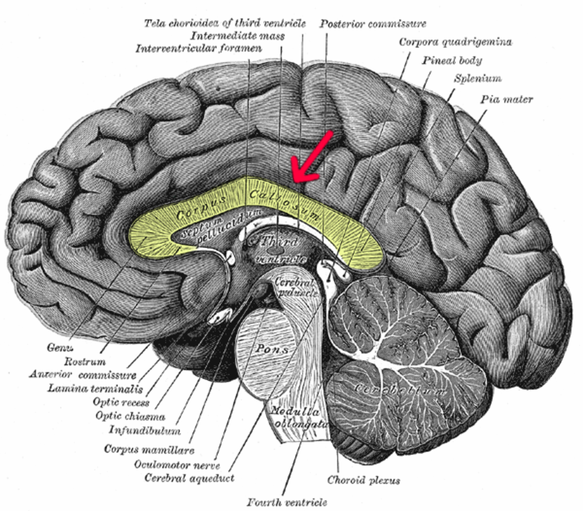 The corpus callosum in the brain