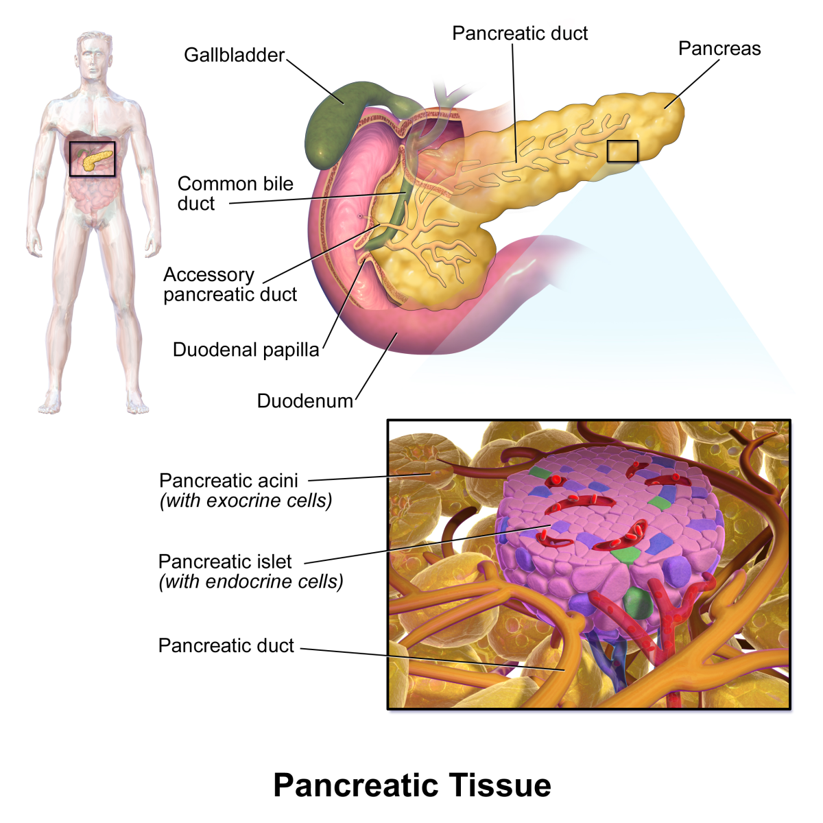 The pancreas and its internal structure