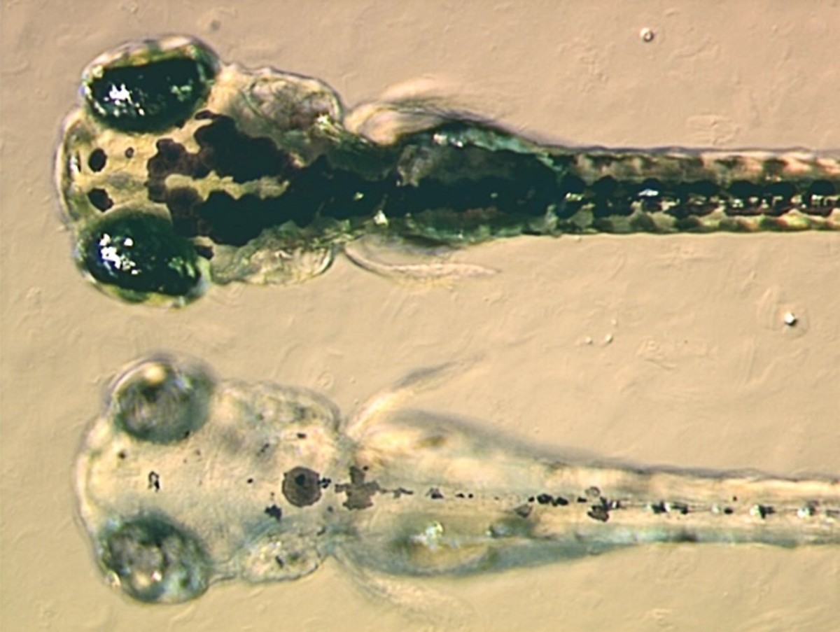Four-day-old zebrafish; the lower one has been genetically modified to eliminate its dark pigment
