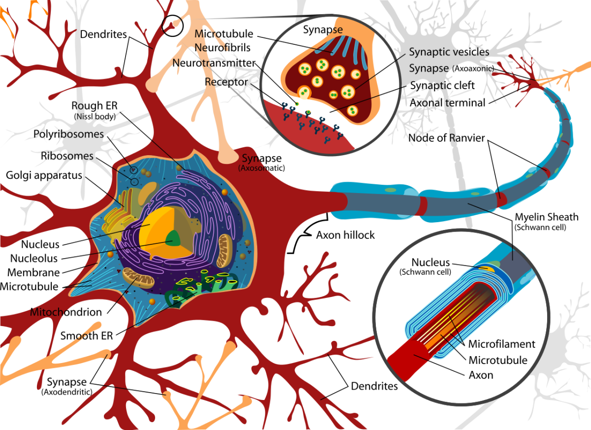 A neuron with its axon surrounded by Schwann cells and a myelin sheath