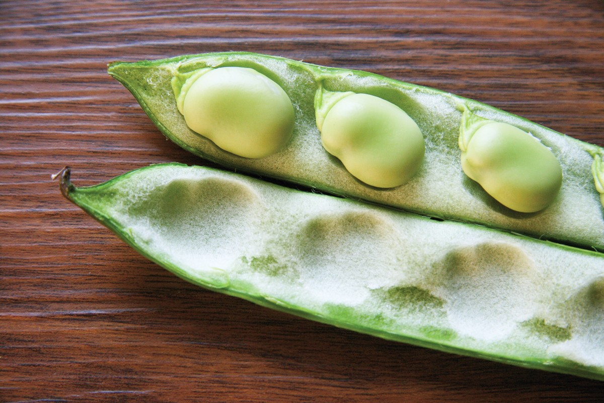 Broad or fava beans can darken urine.