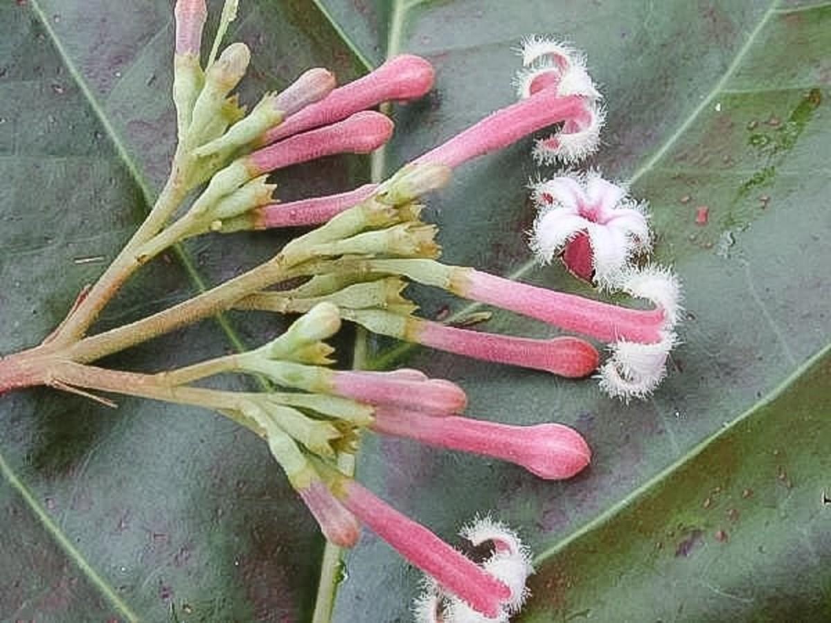 Cinchona pubescens flowers