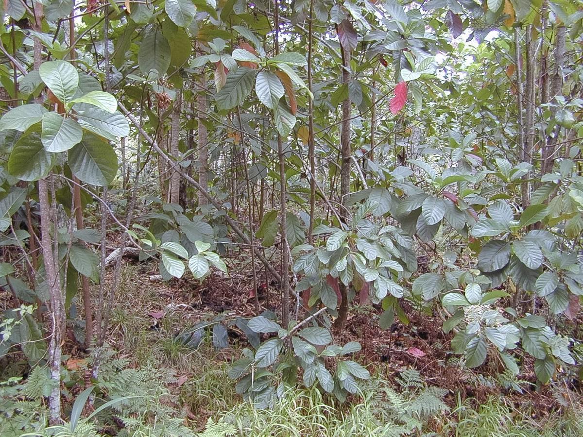 Cinchona pubescens trees in Hawaii