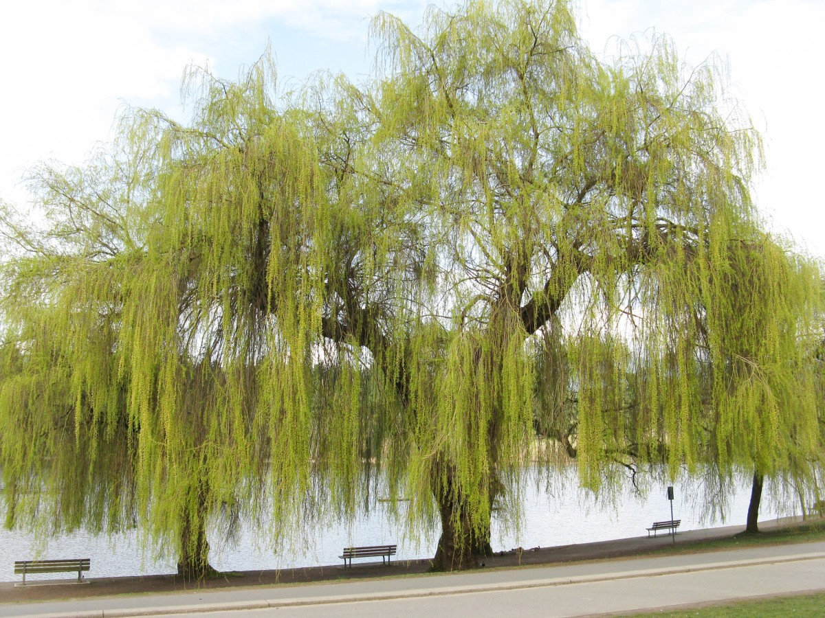 A weeping willow in early spring beside Lost Lagoon; this section of the lagoon is quite open and is the place where people like to feed the birds
