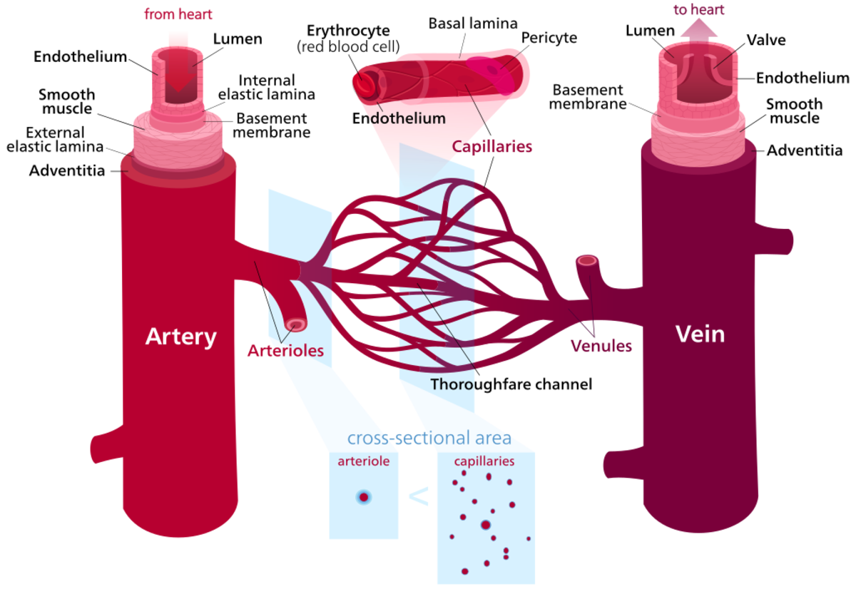 Extra blood flows through blood vessels to injured areas during the inflammatory response.