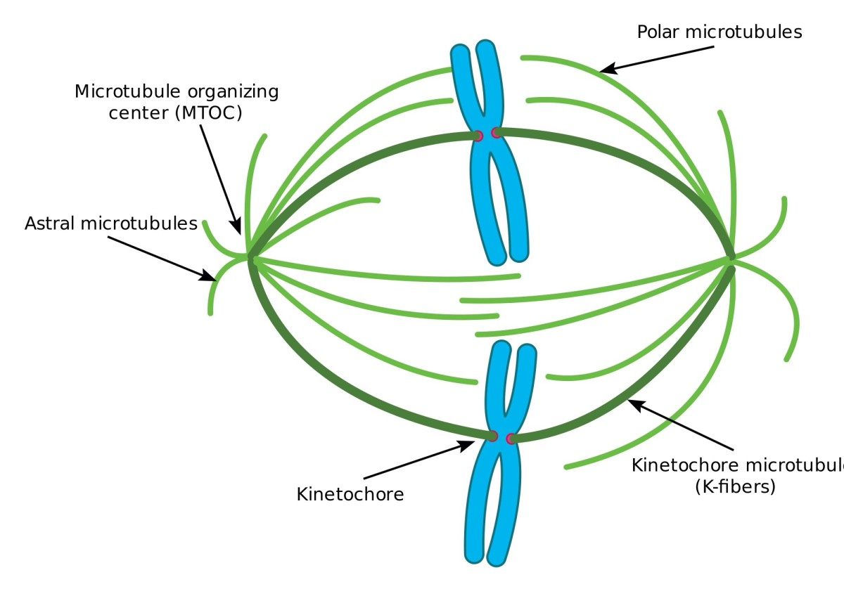 Each chromosome is replicated before cell division. The paired chromosomes are separated as microtubules (or spindle fibers) pull them to opposite poles of the cell.