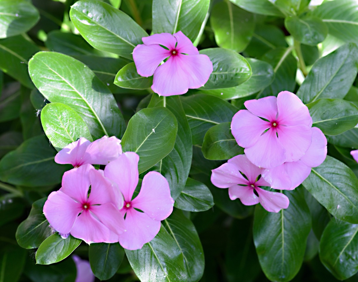 A purple version of the Madagascar periwinkle