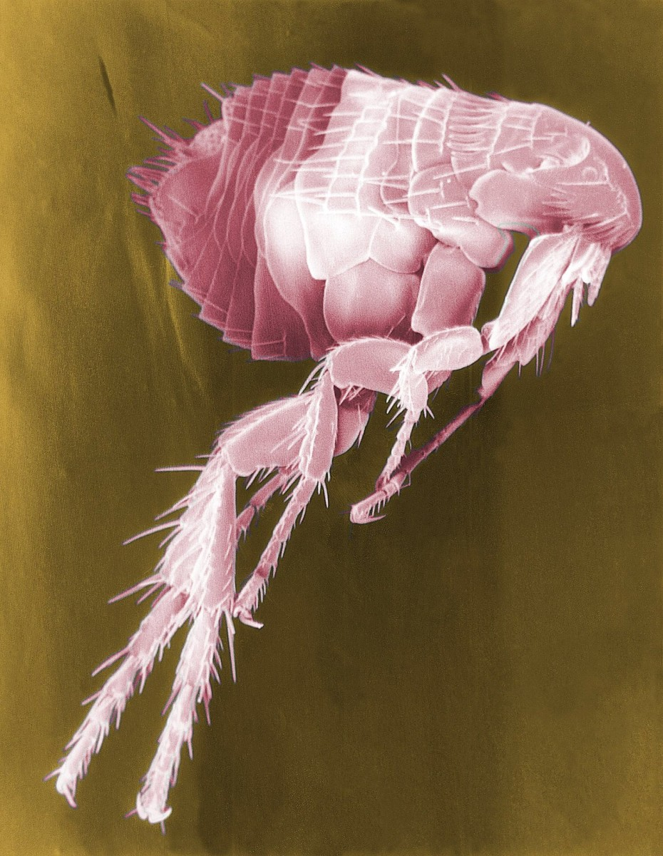 A colourized scanning electron micrograph of a flea