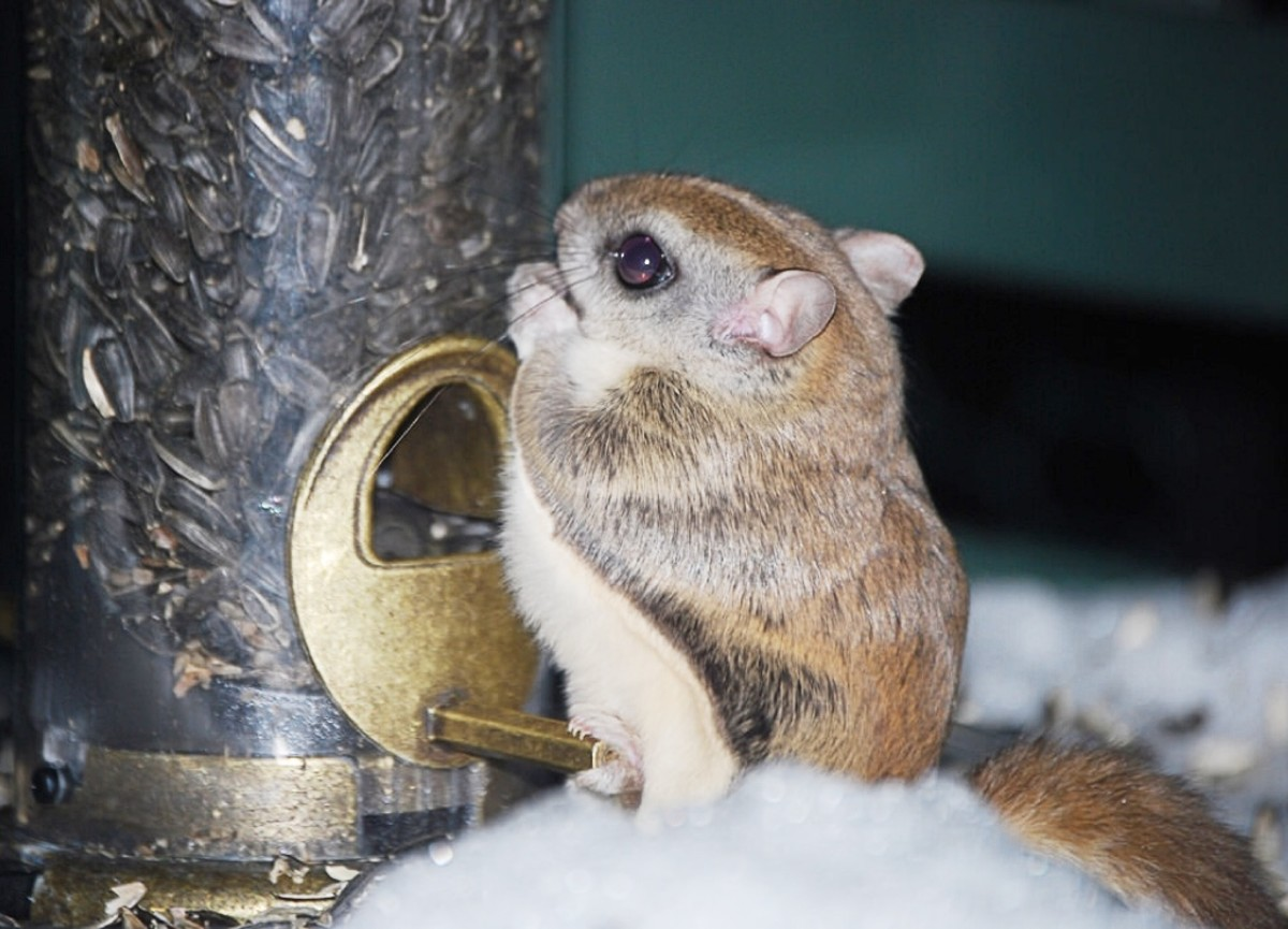 A southern flying squirrel at a bird feeder