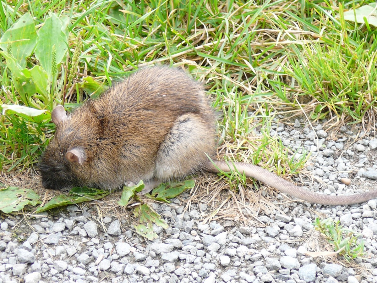 A brown rat (Rattus norvegicus)