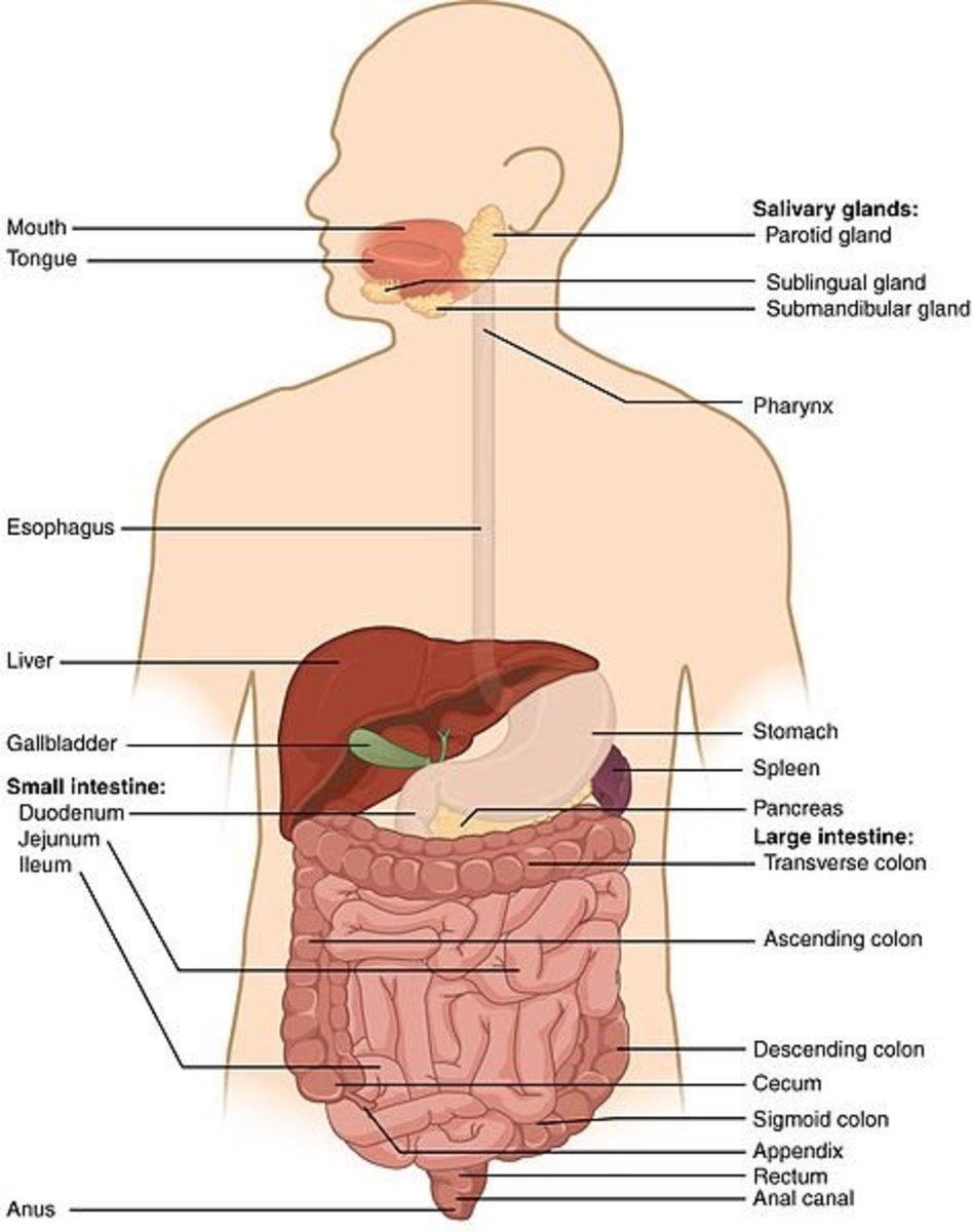 Location of the pancreas within the abdomen