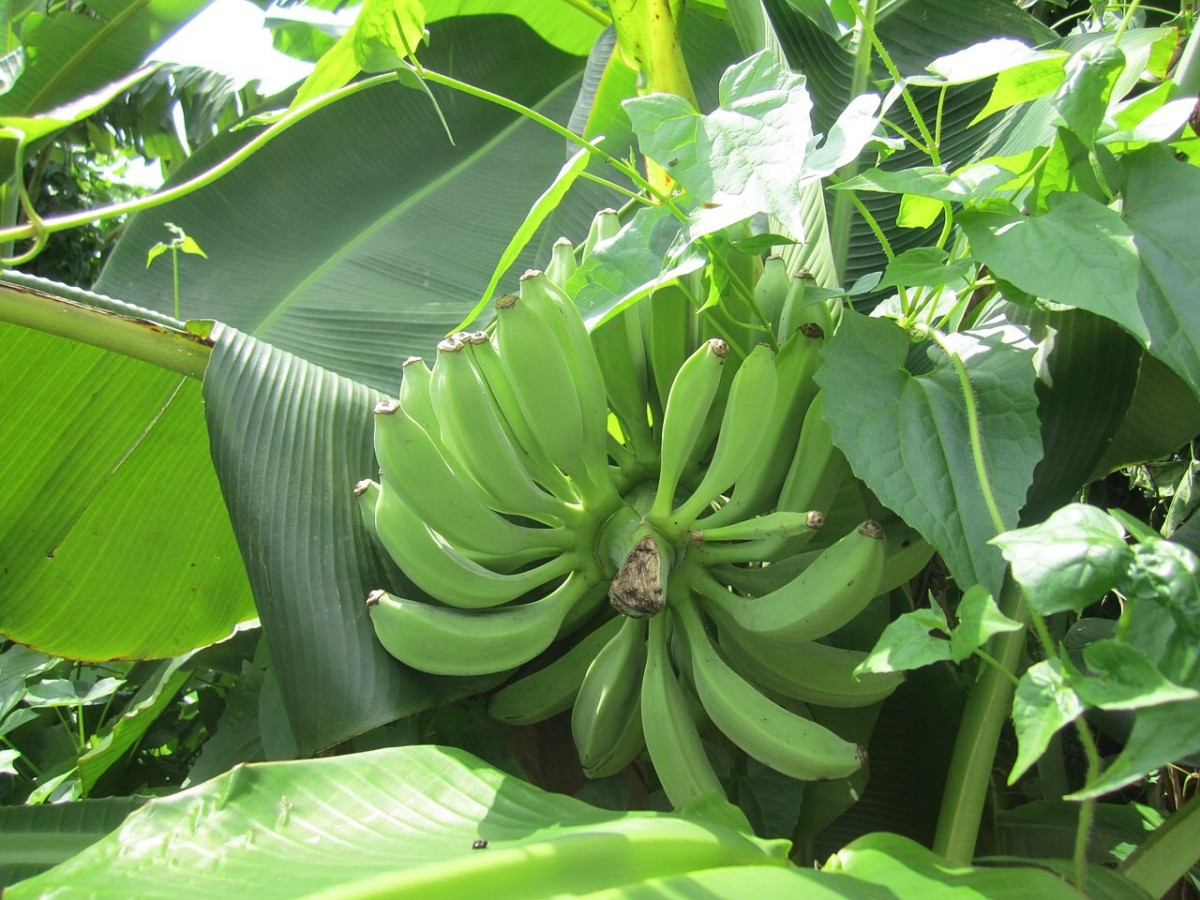 Green bananas contain resistant starch. They're popular in some cuisines.