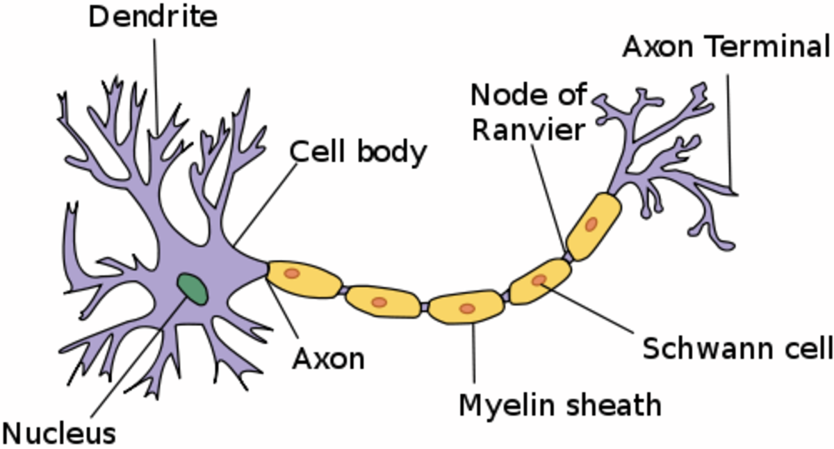 A neuron or nerve cell (In many neurons, the axon is much longer in proportion to the other parts of the cell than is shown in this illustration.)