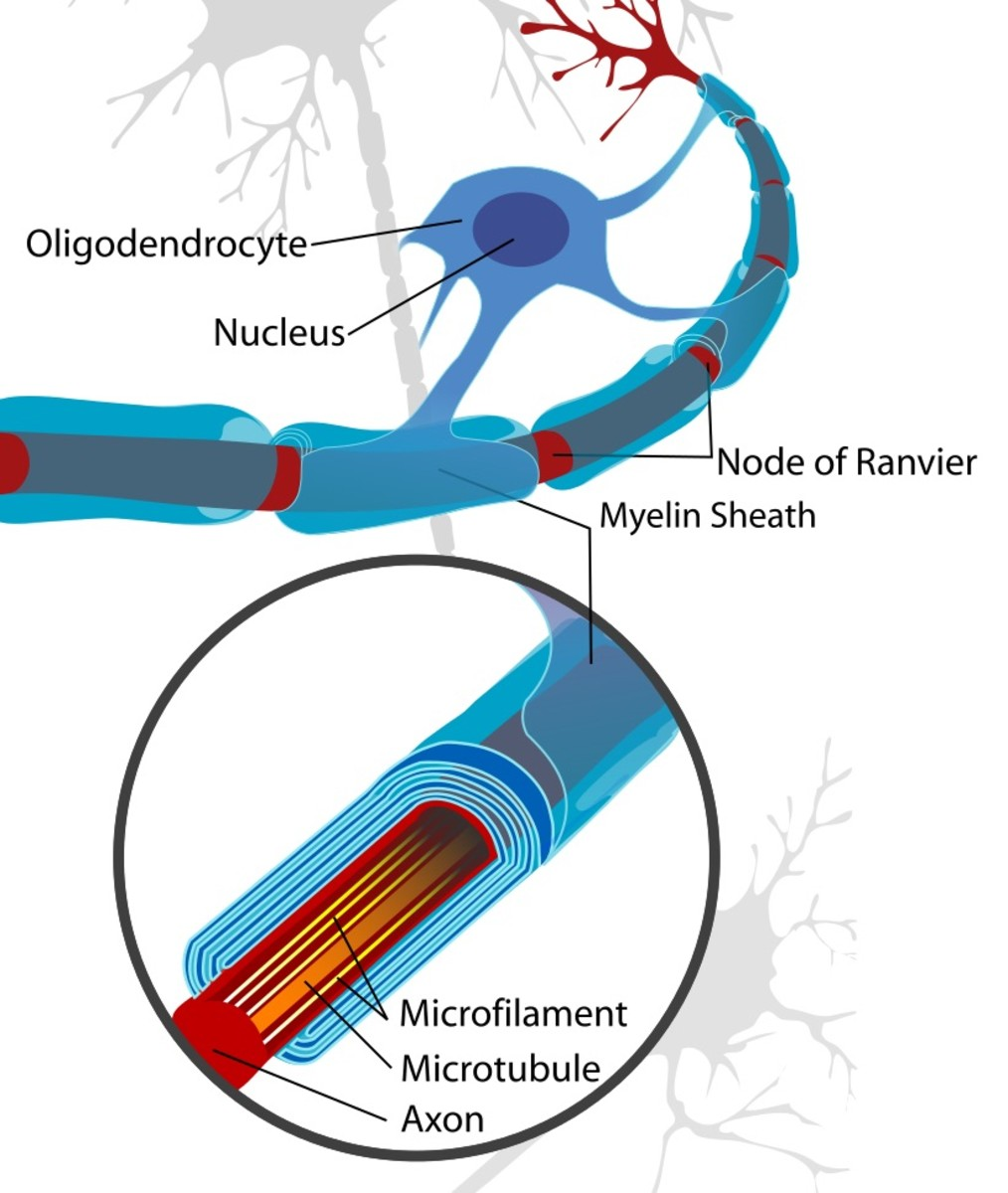 The oligodendrocyte is a glial cell that makes the myelin sheath surrounding axons in the central nervous system. Like astrocytes, it has extensions that contact neurons.