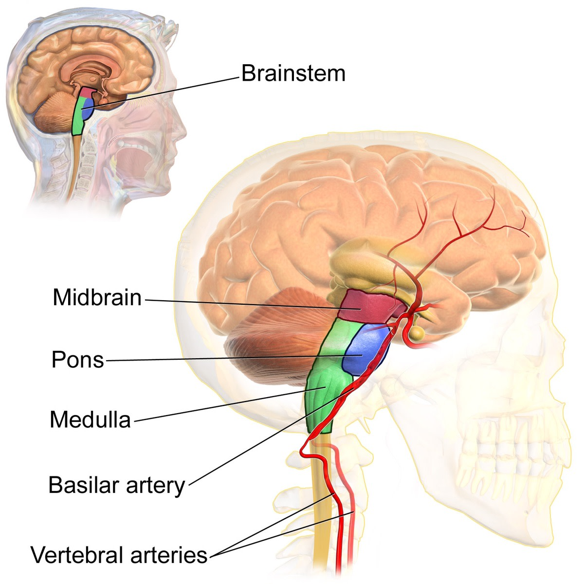 The central nervous system consists of the brain, brainstem, and spinal cord.