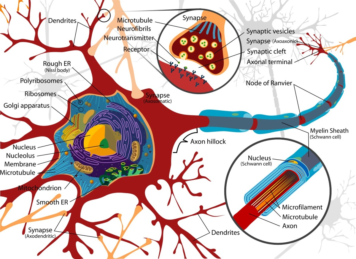 As is often the case in a neuron diagram, glial cells are not shown.