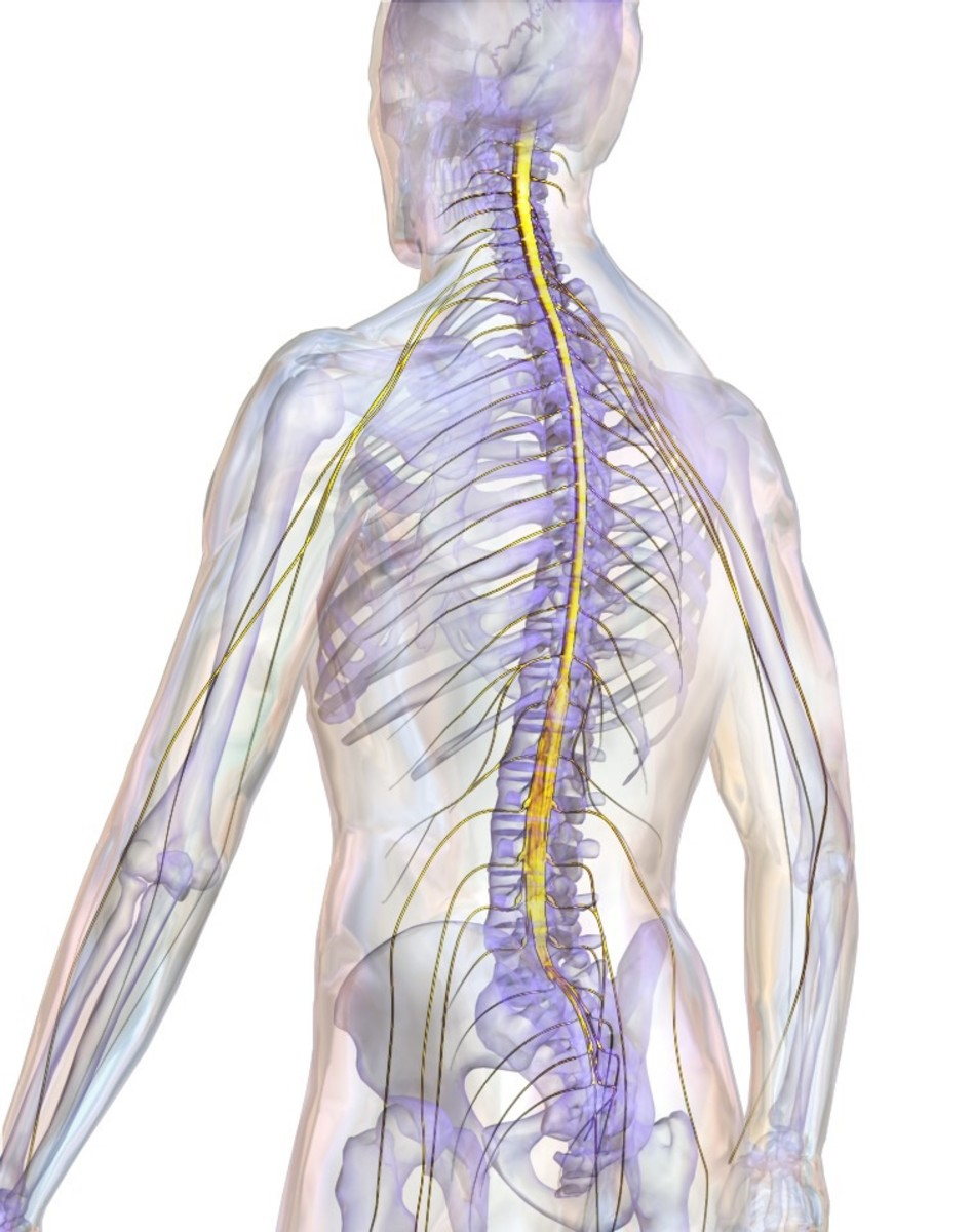 Paired nerves of the peripheral nervous system leaving the spinal cord