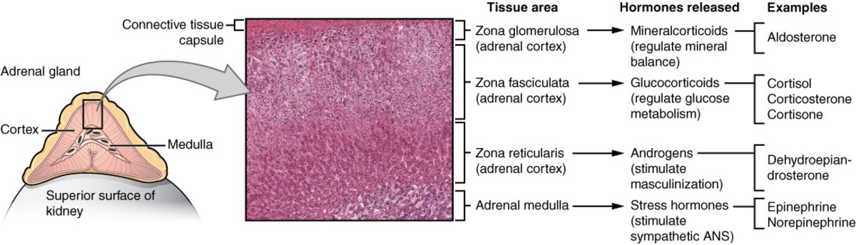 Functions of the adrenal gland