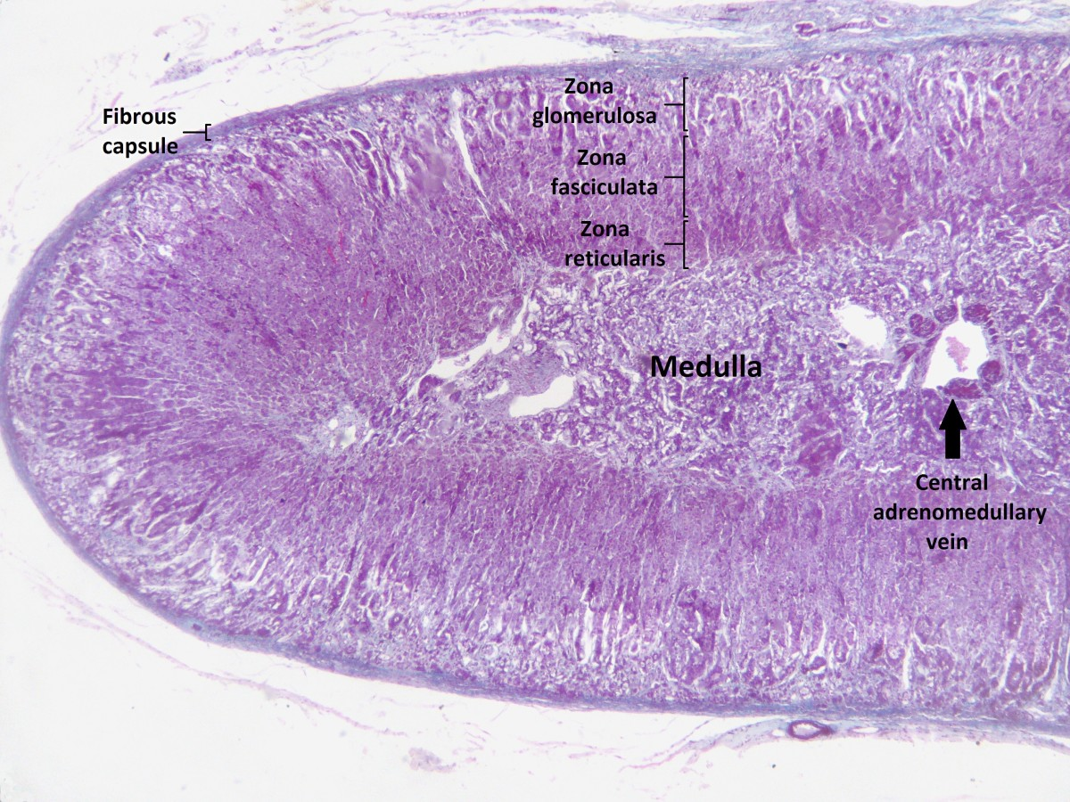 A stained section of an adrenal gland
