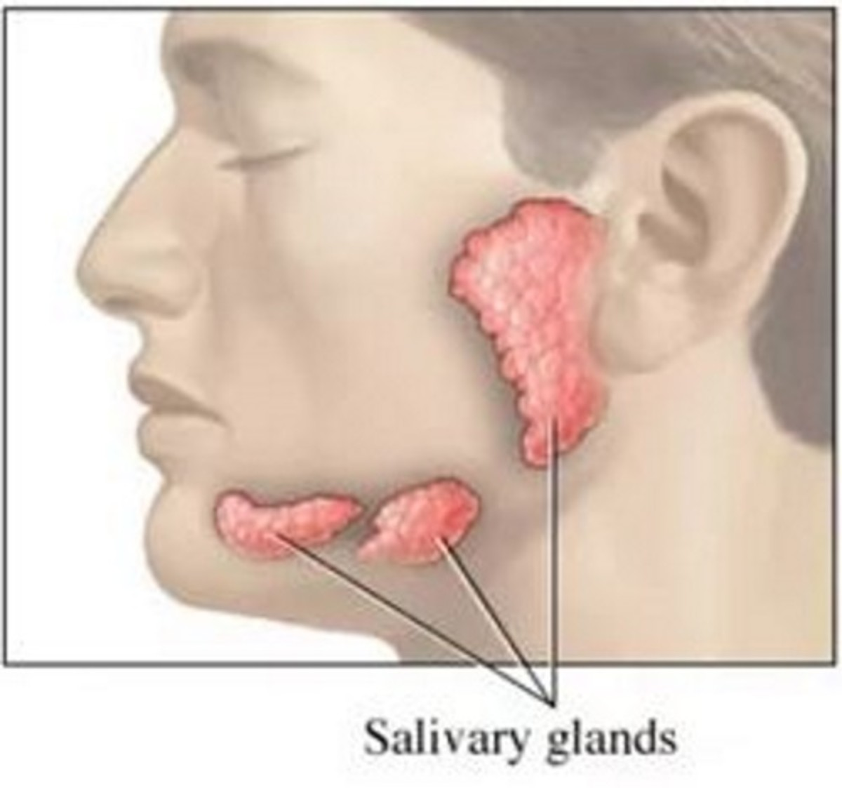 Salivary Glands are Important to Oral Health