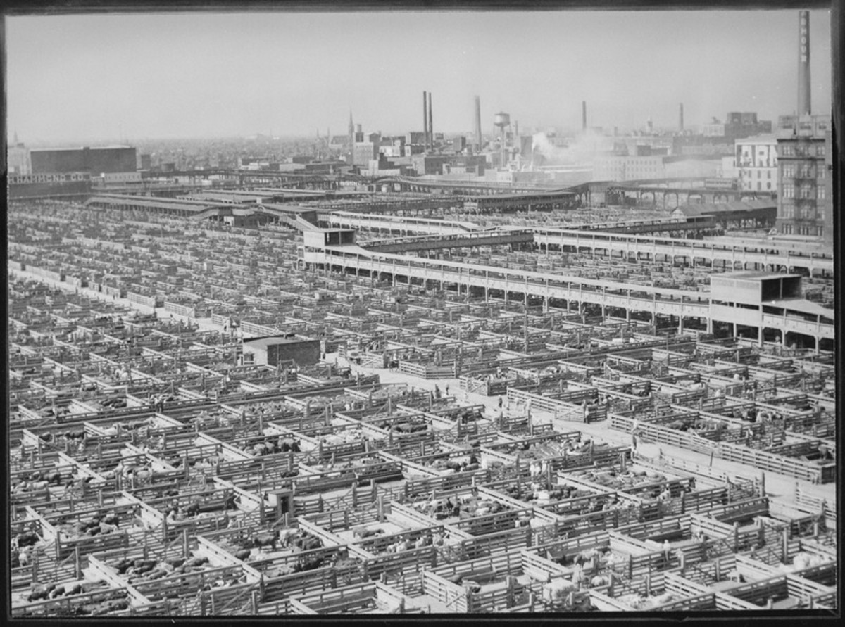A photograph of the Chicago Stockyards in the 1940's: a large supply of livestock allowed Koch to obtain enough fluid to isolate 20mg of testosterone.