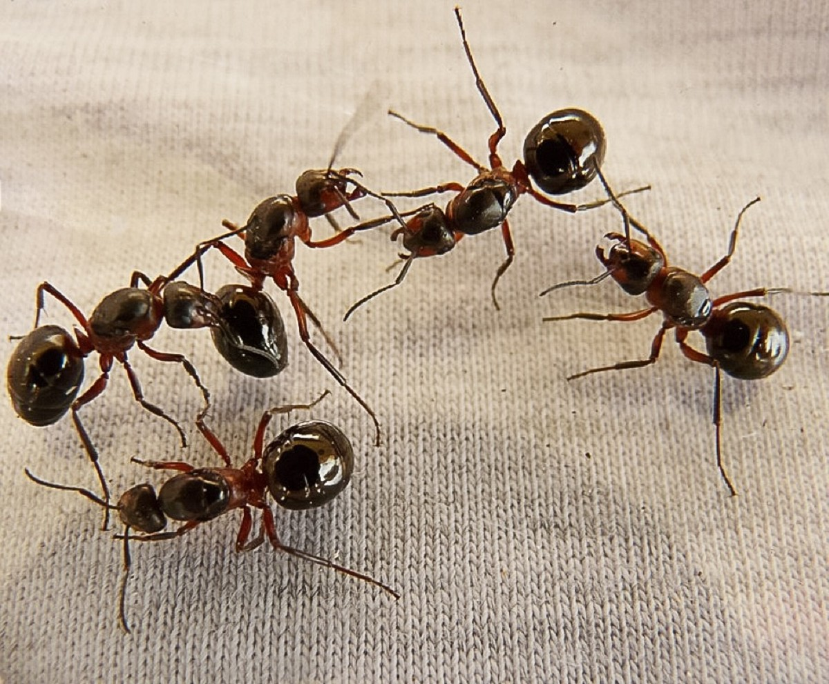 Ant bites have been used to provide natural sutures.