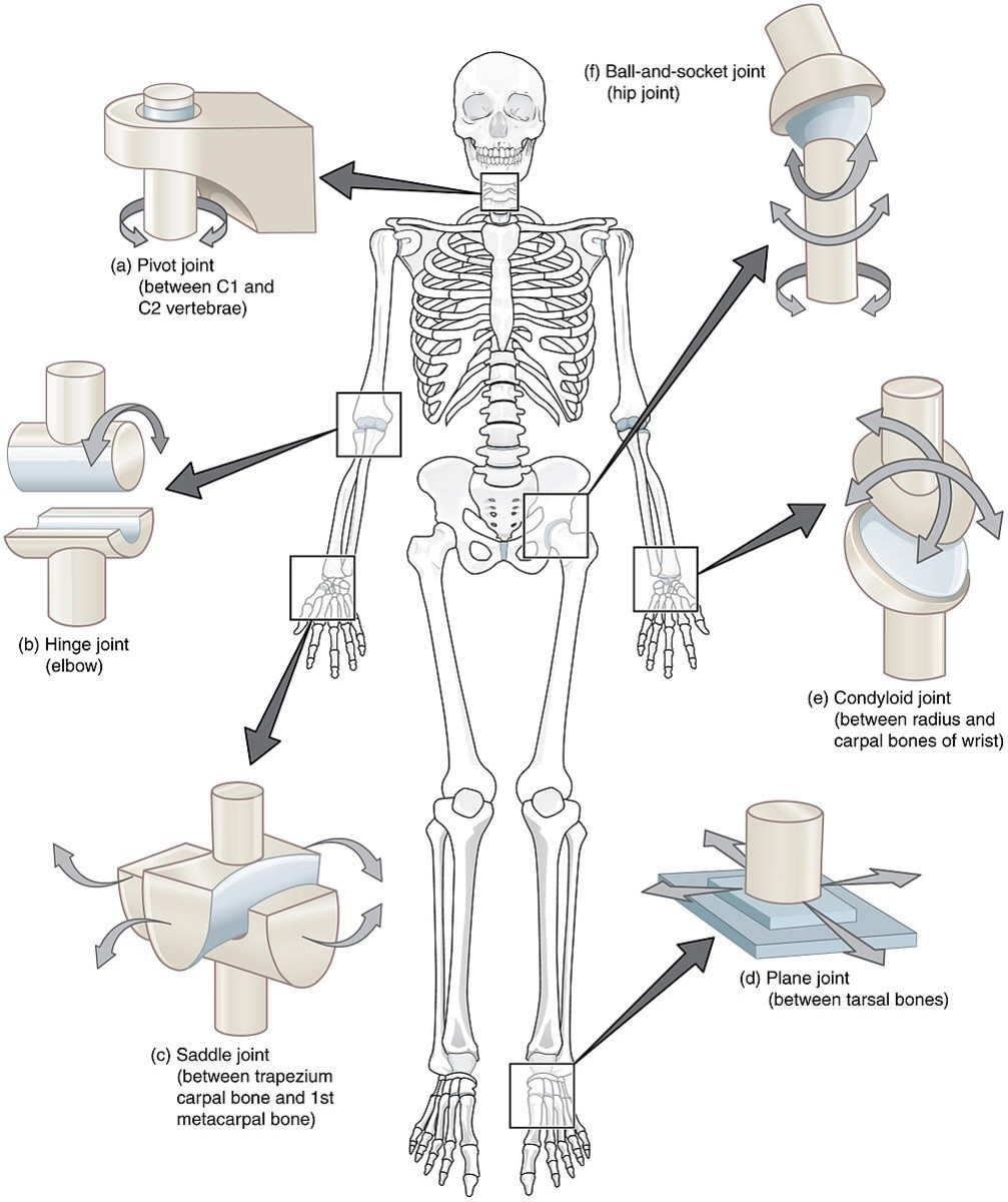 There are six types of synovial joints. They are classified according to their structure and the way in which they work.