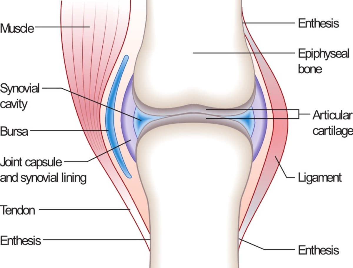 A synovial joint plus a ligament, a tendon, and a bursa