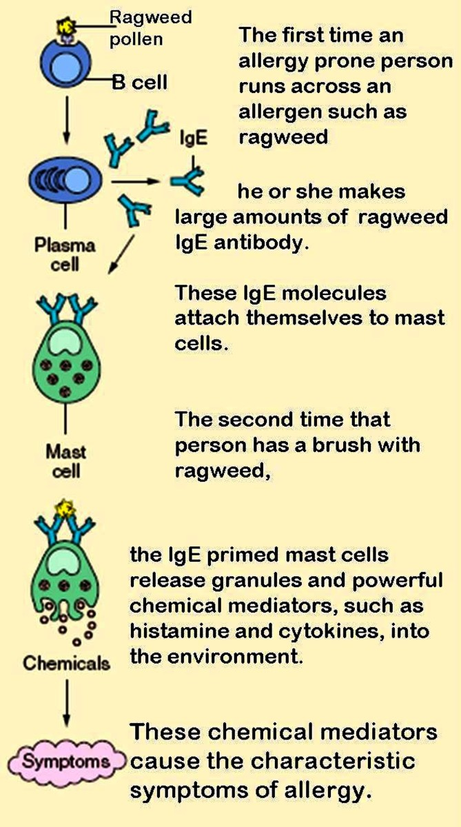 Activation and degranulation of mast cells