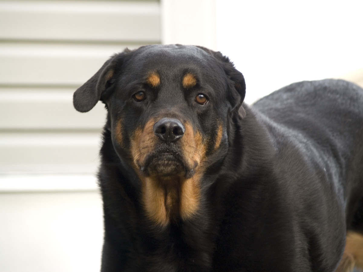 Rottweilers can achieve a dog bite force of 328 pounds.