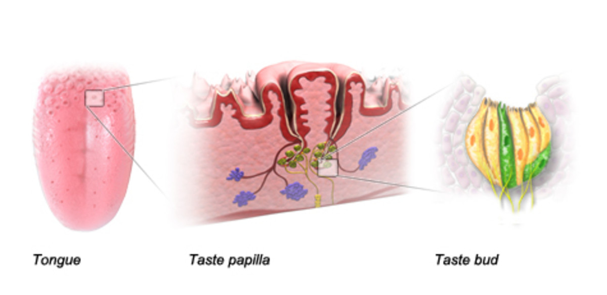 "The taste ""buds"" are mostly in the folds between the papillae"