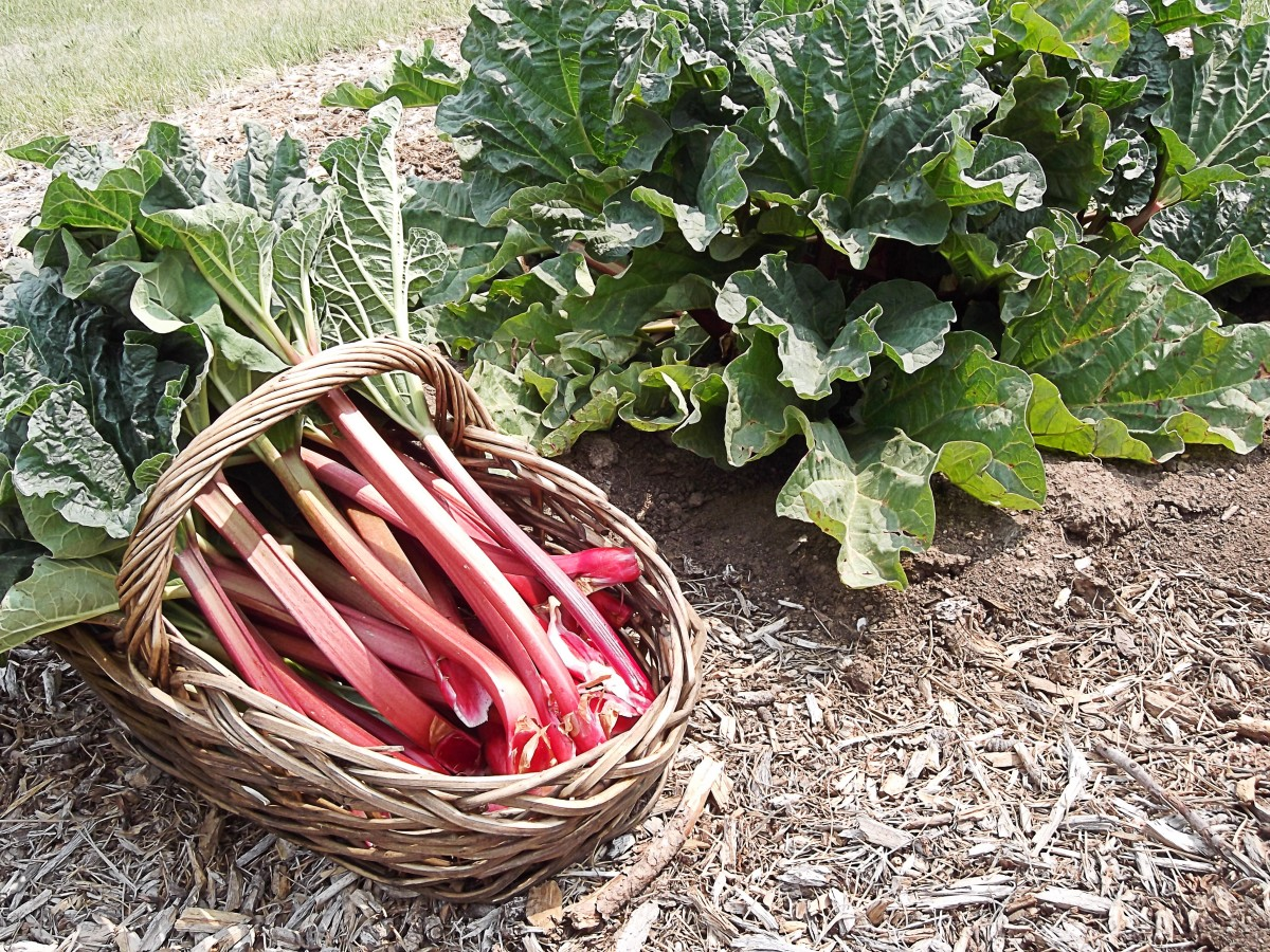 Rhubarb stalks make a nice dessert when sweetened, but the leaves of the plant are very high in oxalic acid and shouldn't be eaten.